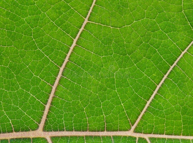 zielone liści young zdjęcie royalty free