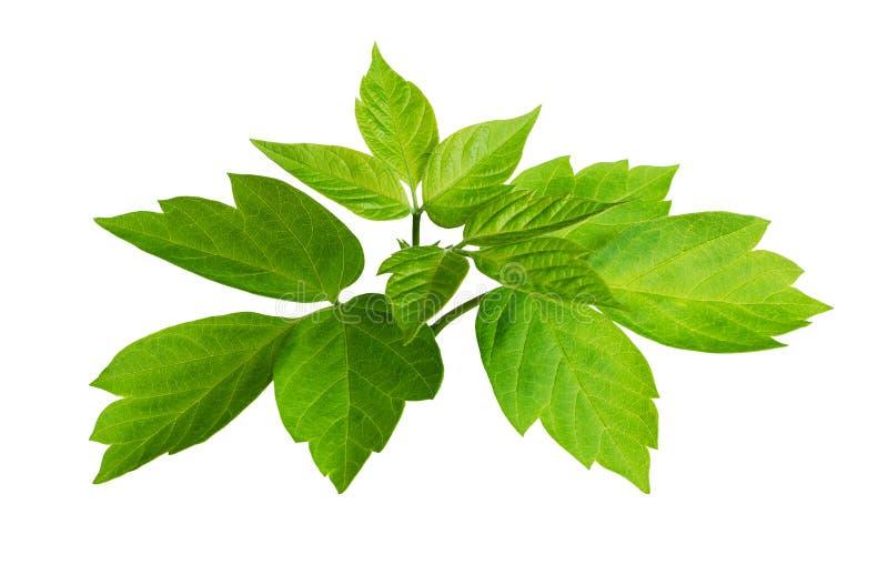 zielone liście świeże zdjęcia stock
