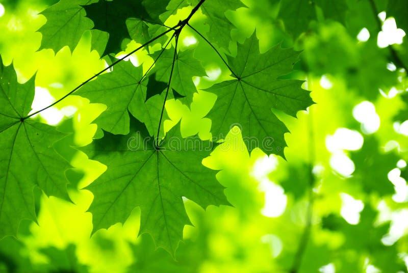 zielone liście fotografia royalty free
