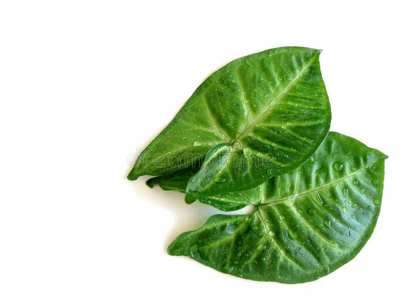 zielone liście krople obrazy stock
