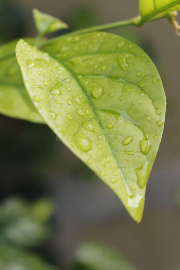 zielone li?ci kropli wody zdjęcia stock