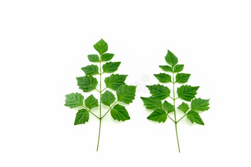Download Zielone liście zdjęcie stock. Obraz złożonej z naturalny - 57663868