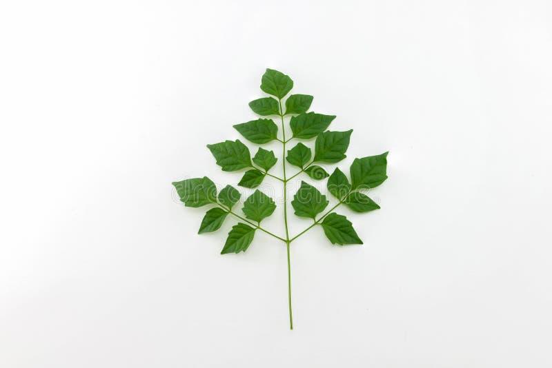 Download Zielone liście zdjęcie stock. Obraz złożonej z greenbacks - 57663874