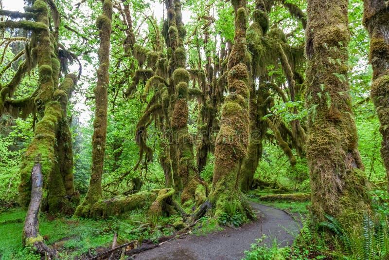 Zielone luksusowe rośliny temperate tropikalny las deszczowy przy Olimpijskim parka narodowego Waszyngton usa obraz royalty free