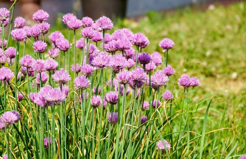 Zielone m?ode li?? wiosny cebulkowe ro?liny w plantaci fotografia royalty free