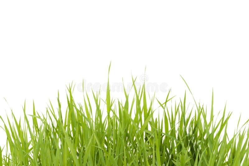 zielone odosobnione trawy tło białe obrazy stock