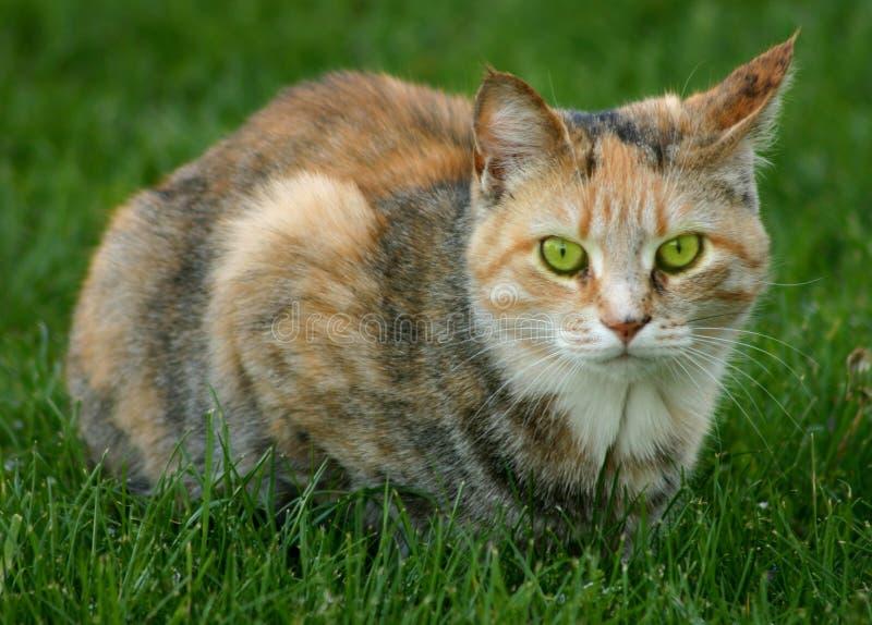 Download Zielone oko zdjęcie stock. Obraz złożonej z koci, owłosiony - 129486