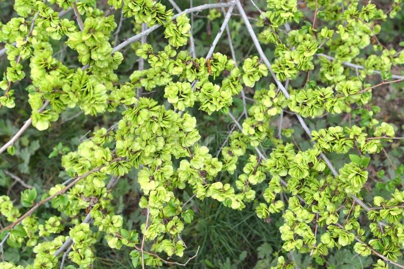 Zielone owoc wiązu Ulmus krępy pumila L , tło zdjęcie stock