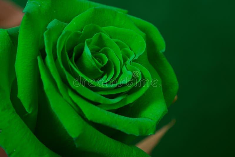 zielone pączkowa rose obraz stock