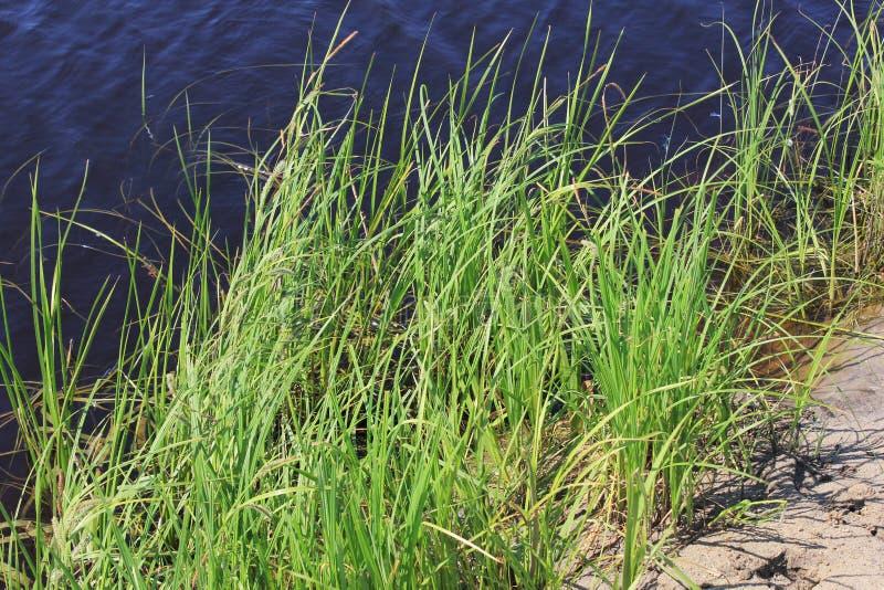 Zielone płochy blisko do jeziora zdjęcia royalty free