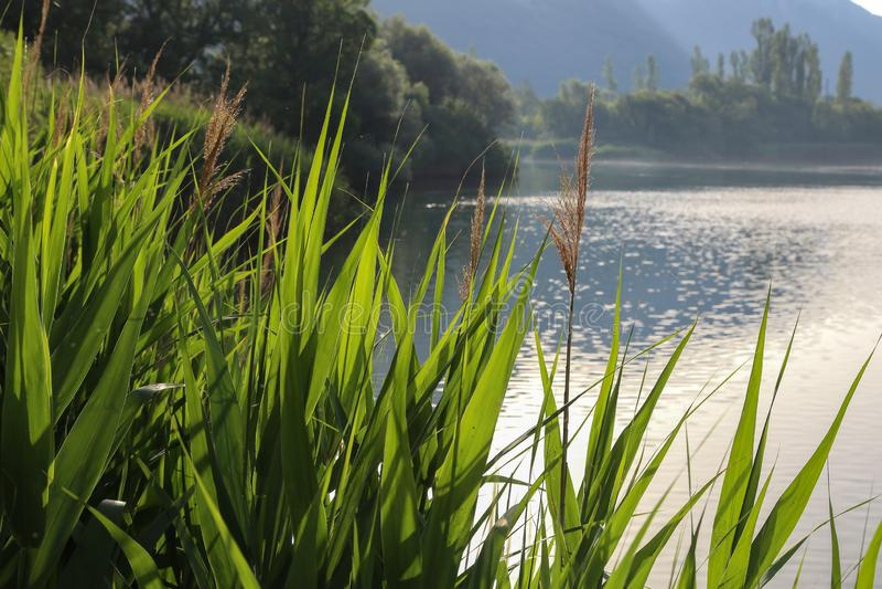 Zielone płochy na jeziorze w wczesnym poranku zdjęcia royalty free