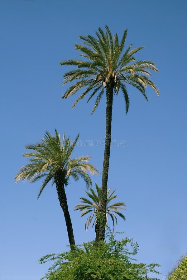 Zielone palmy na niebieskim niebie obraz royalty free