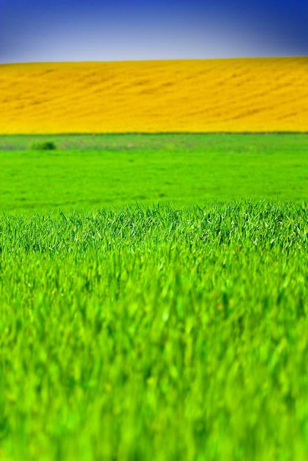 zielone pola, żółty fotografia royalty free