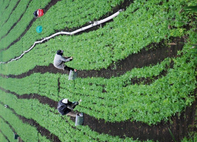 zielone pola rolnych pracowników zdjęcia royalty free