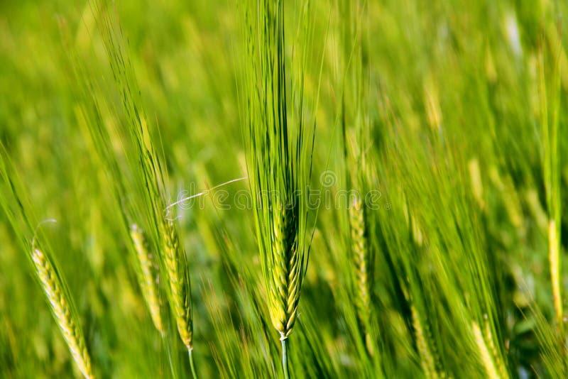 zielone pszeniczni young fotografia stock