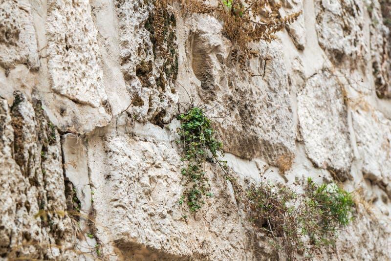 Zielone rośliny robią ich sposobowi w starym mieście Jerozolima przez kamieni miasto ściana blisko Jaffa bramy, Izrael zdjęcia stock
