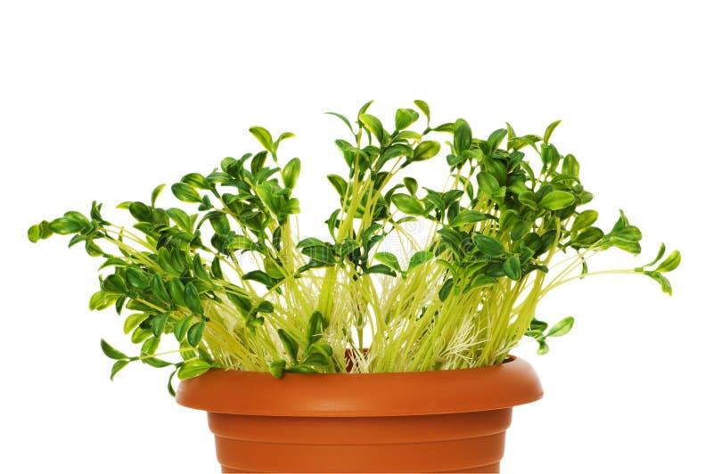 zielone rozsady zdjęcia stock