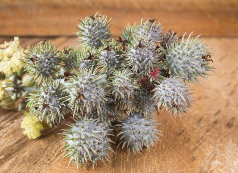Zielone rycynowe owoc - Ricinus communis zdjęcie royalty free