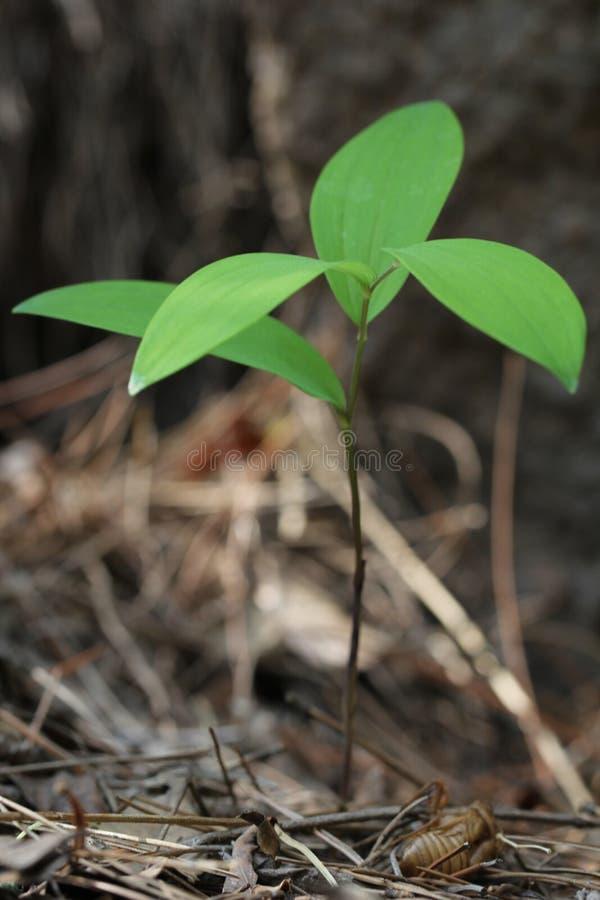 zielone sadzonki obraz royalty free