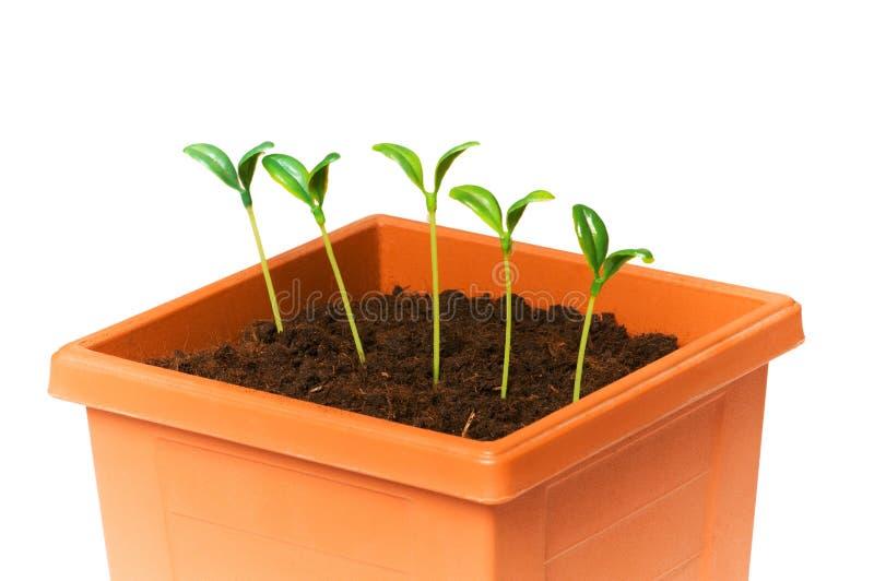 zielone saplings zdjęcie stock