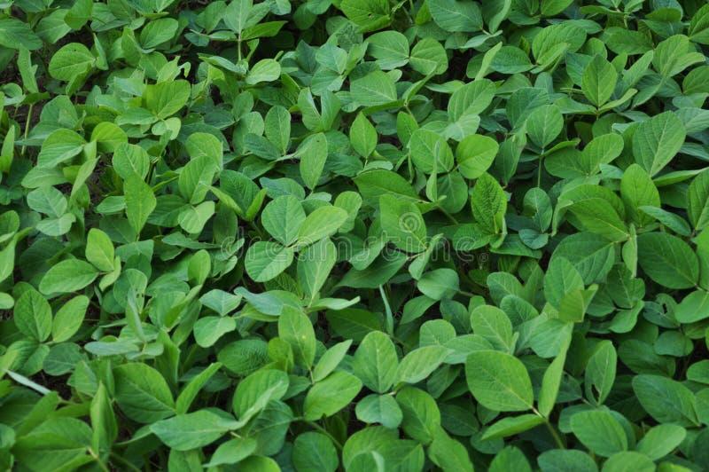 Zielone soj rośliny fotografia stock