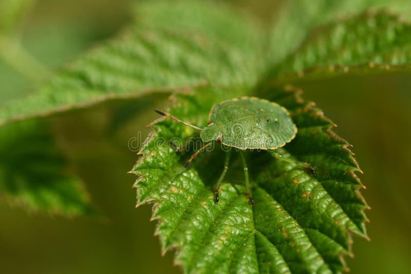 Zielone tarcze, Palomena prasina nymphs zdjęcie royalty free