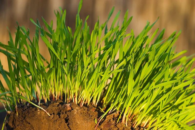 zielone uprawy trawy nowego obraz royalty free