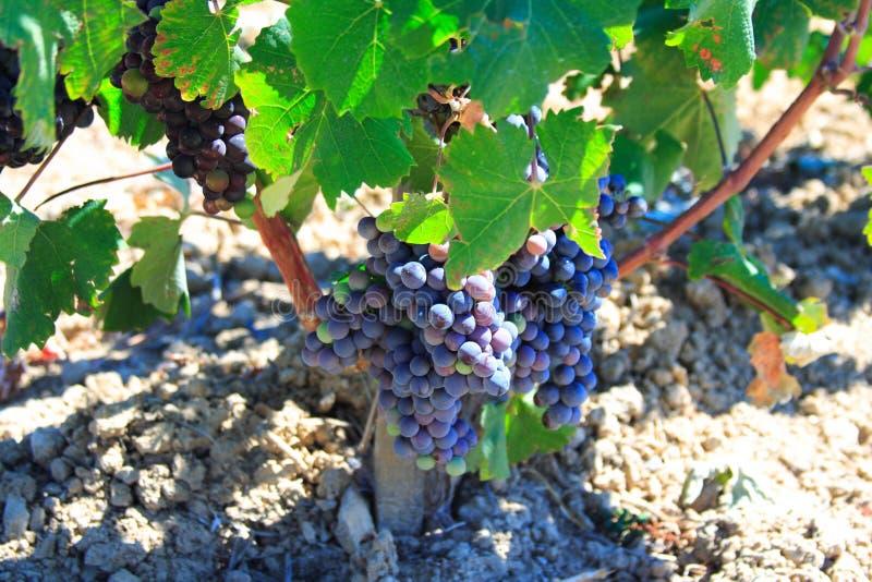 zielone vineleaves winogron zdjęcie royalty free