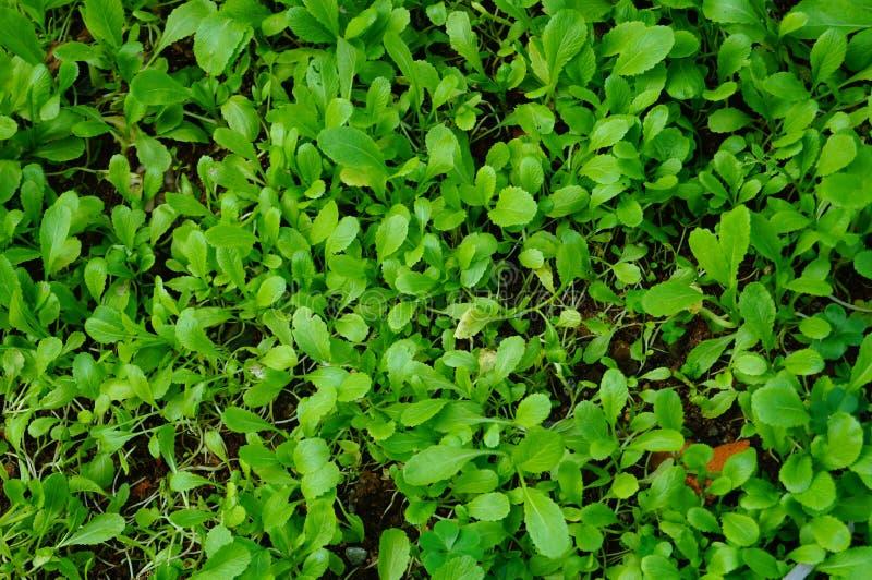 zielone warzywa zdjęcie stock