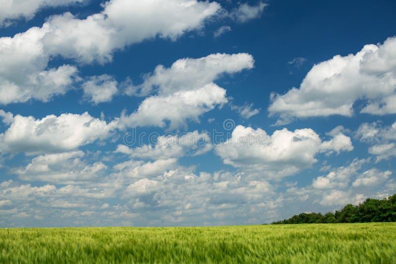 Zielone wheaten flance s? w pi?kny chmurnym i polu niebieska spowodowana pola pe?ne si? chmura dzie? zielonych ro?lin krajobrazu  zdjęcie royalty free