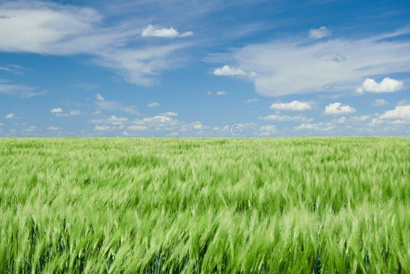 Zielone wheaten flance w chmurnym niebie i polu Jaskrawy wiosna krajobraz zdjęcia royalty free