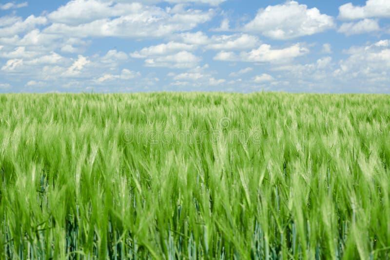 Zielone wheaten flance w chmurnym niebie i polu Jaskrawy wiosna krajobraz obrazy royalty free