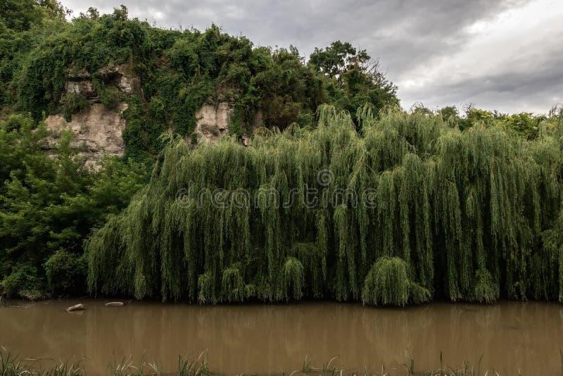 Zielone wierzby r nad woda błotnista żółta rzeka blisko skał obraz stock