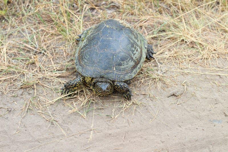 Zielonego żółwia czołganie wzdłuż wiejskiej drogi obrazy royalty free