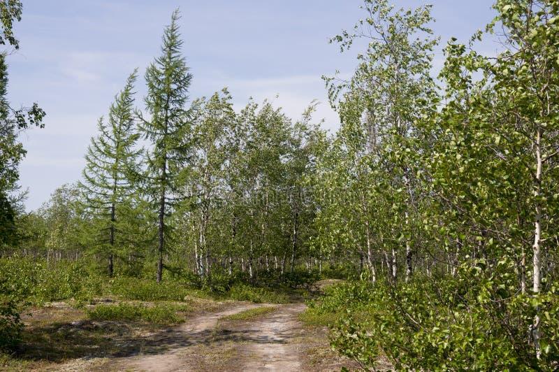 Zielonego brzoz drzew witn czarny i biały bagażnik w lato lasu gaju Krajobraz fotografia stock