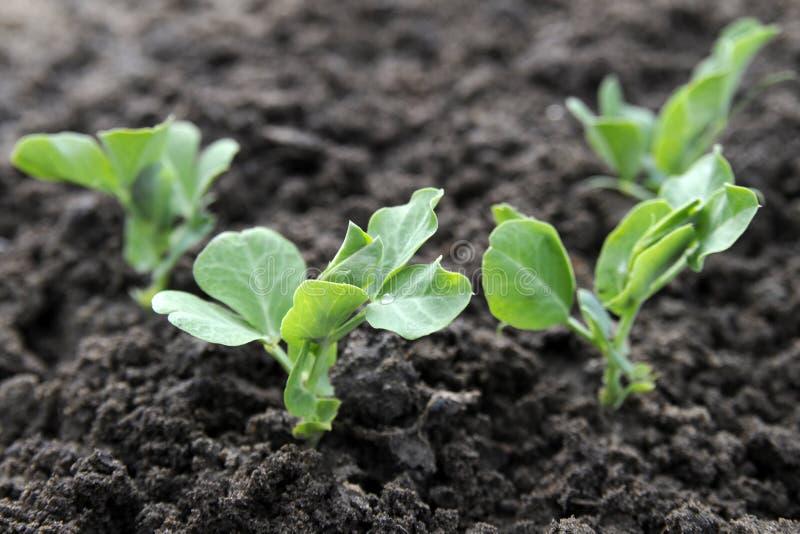 zielonego grochu rośliny zdjęcia royalty free