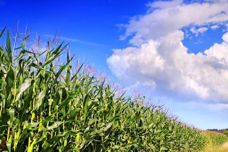 Zielonego kukurydzanego pola i niebieskiego nieba tło. fotografia royalty free