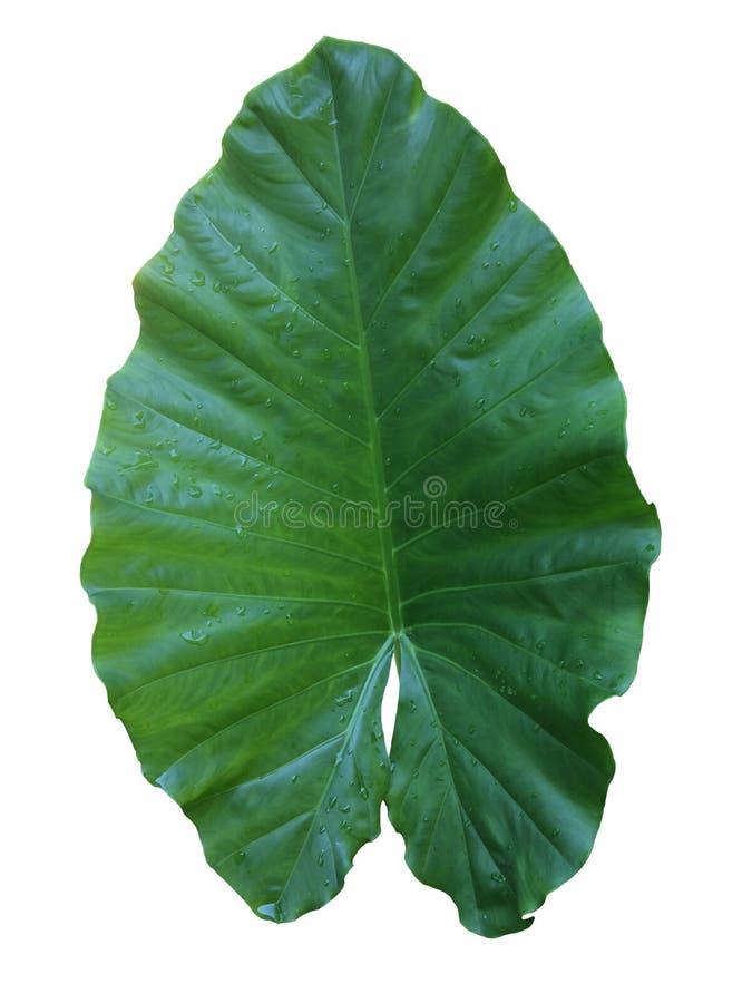 Zielonego liścia deszczu mokre krople odizolowywać na białym tle obraz royalty free