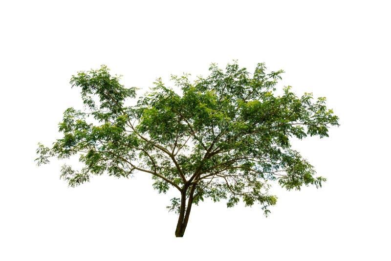 Zielonego liścia duży drzewo odizolowywający na białym tle z ścinek ścieżką fotografia royalty free