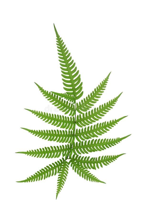 Zielonego liścia paprociowego frond tropikalnego lasu deszczowego ulistnienia tropikalna roślina odizolowywająca na białym tle, ś obrazy stock