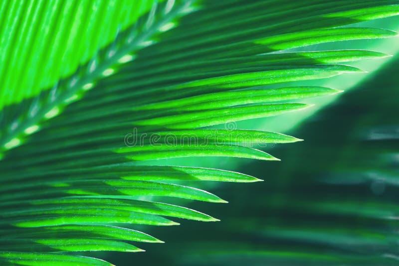 Zielonego nasłonecznionego wiatraczka palmowy liść makro- zdjęcia stock