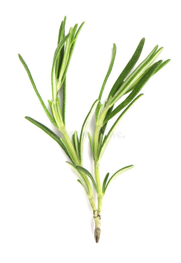 Zielonego sprig świezi rozmaryny odizolowywający na białym tle Gałąź rozmaryny zdjęcia royalty free