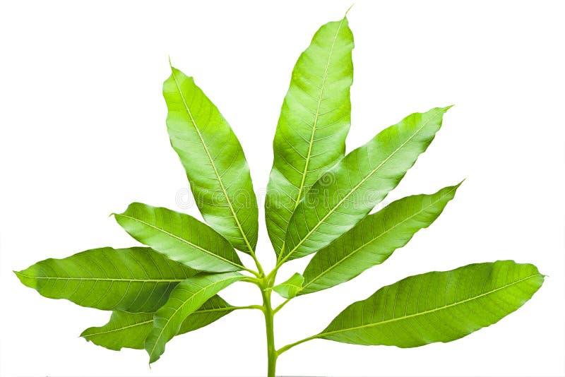 Zielonego tropikalnego liścia mangowy drzewo od natury odizolowywającej, mango opuszcza zdjęcie stock