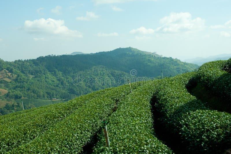 zielonego wzgórza herbata fotografia stock