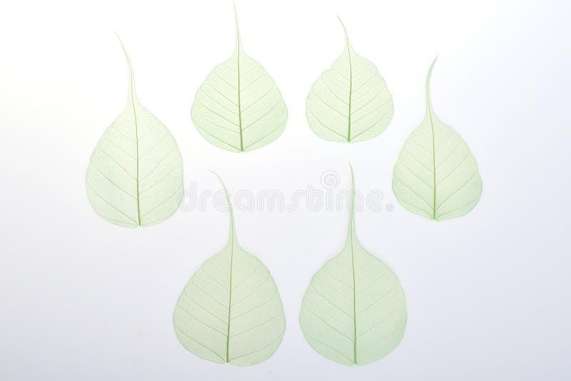 Zielonego Zredukowanego liścia suchy liść odizolowywający na białym tle zdjęcie stock