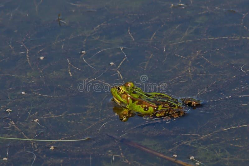 Zielonej żaby dopłynięcie w basenie - Anura zdjęcie stock
