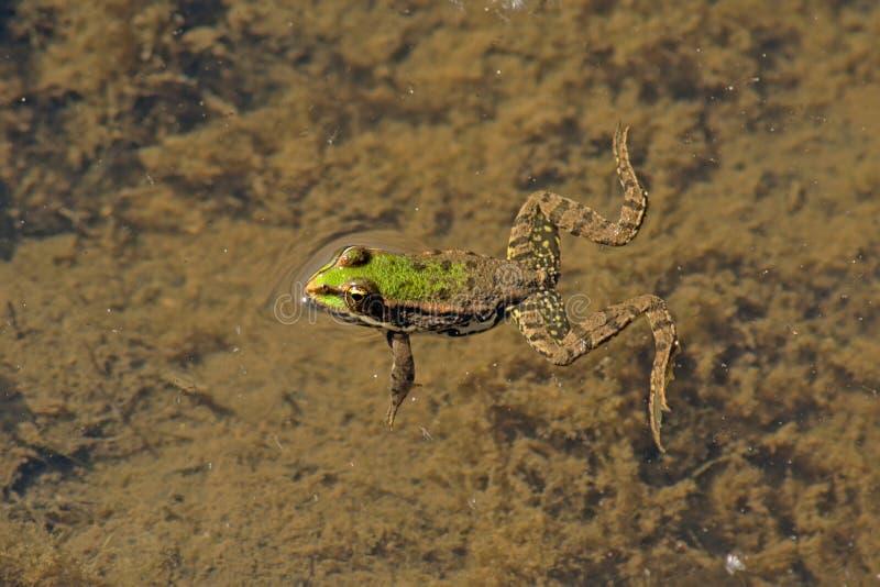 Zielonej żaby dopłynięcie w stawie - Anura fotografia stock