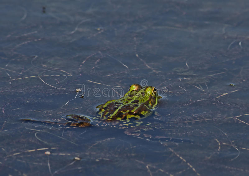 Zielonej żaby dopłynięcie w stawie, widok od plecy - Anura obrazy stock