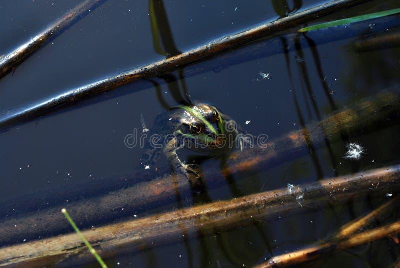 Zielonej żaby dopłynięcie w wodzie, zmrok woda z płochami w nim tło obraz stock