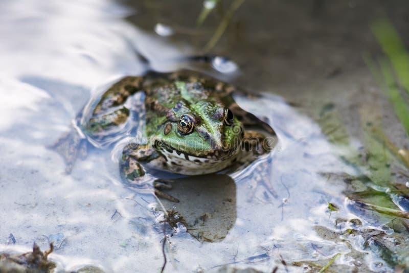 Zielonej żaby obsiadanie w wodzie fotografia royalty free